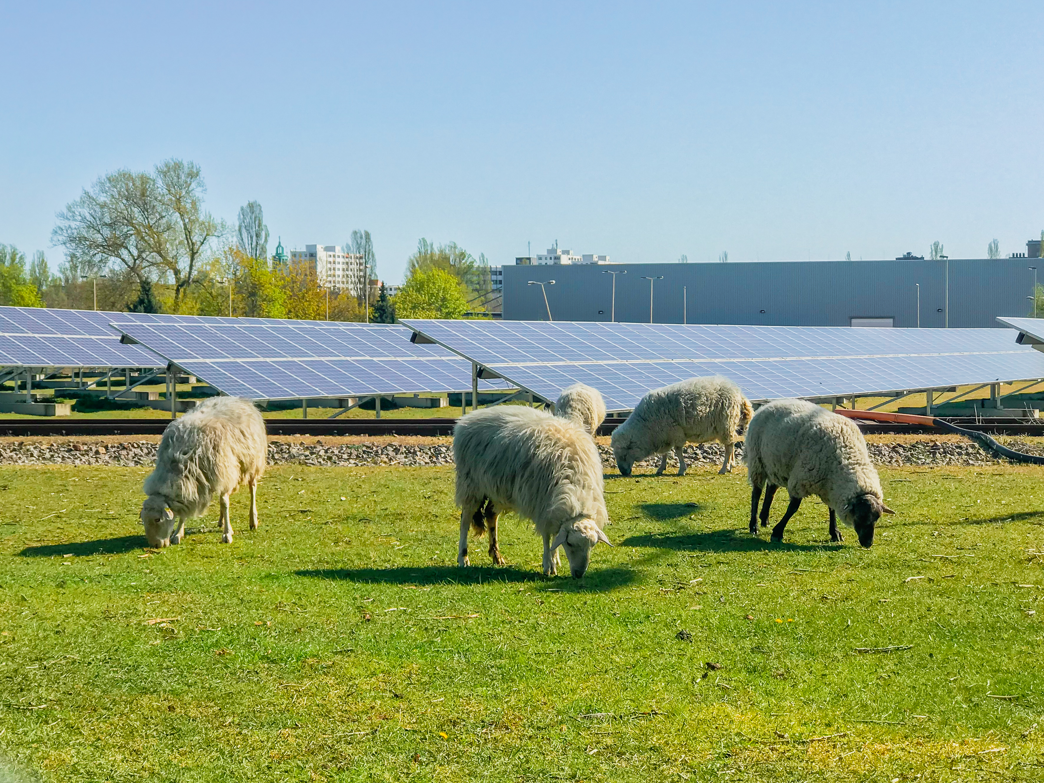 grazing sheep in front of solar panels