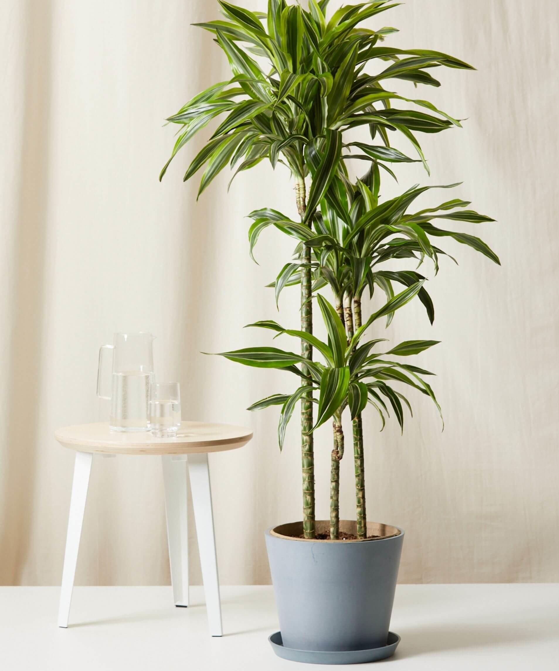 bloomscape_dracaena-gold-lemon-lime_stone-resize-e1625252440907.jpg