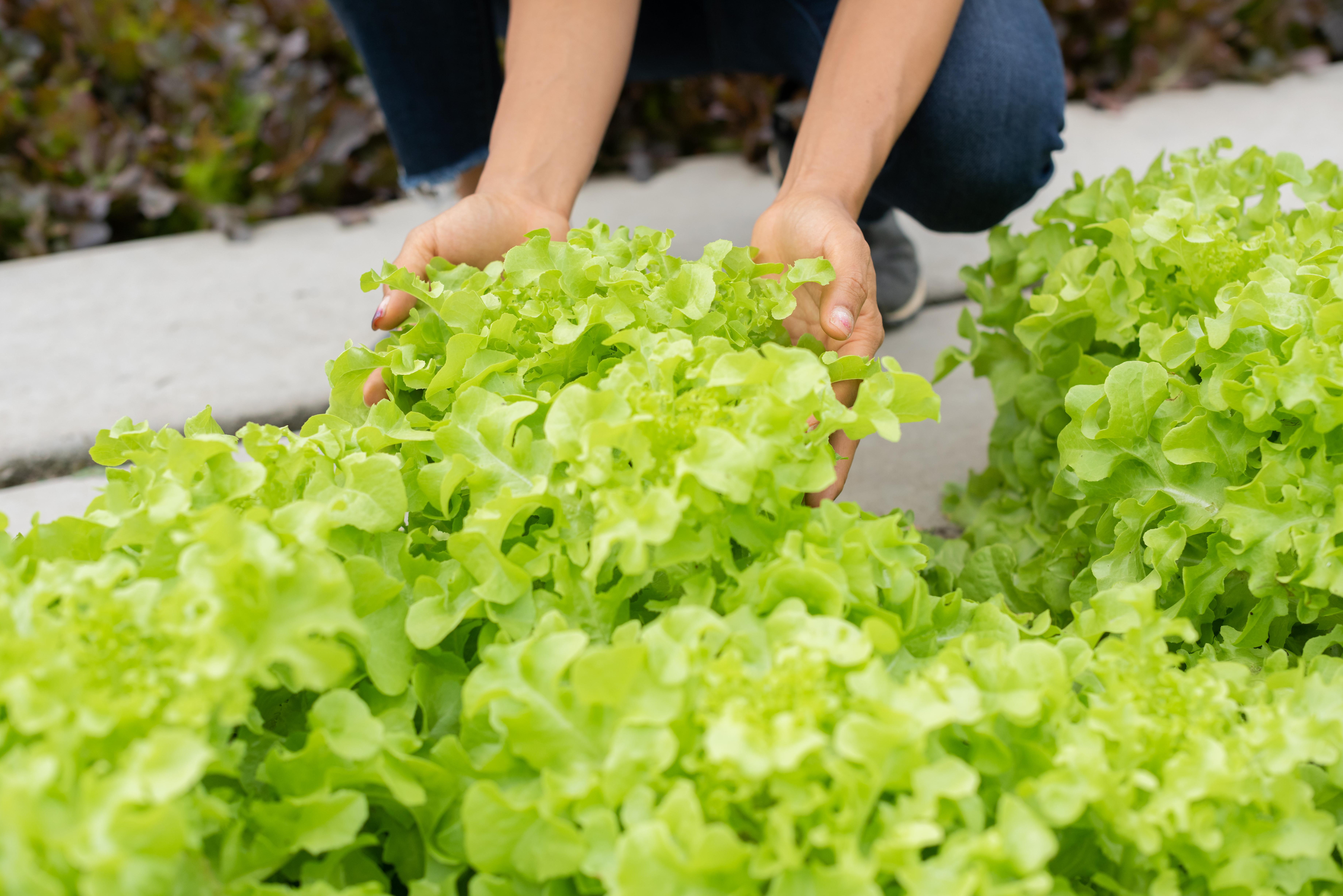 senior-adult-couple-picking-vegetable-from-backyard-garden.jpg