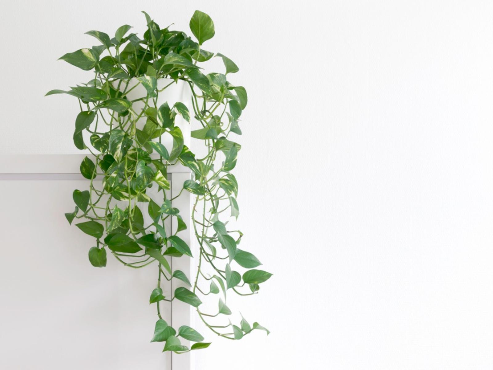 pothos-plant.jpg