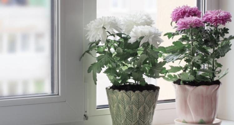 Body_Chrysanthemum in window_shutterstock_489407596.jpg