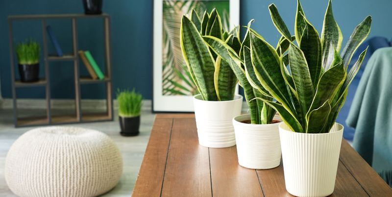 how-to-care-for-a-snake-plant-1591205050.jpg