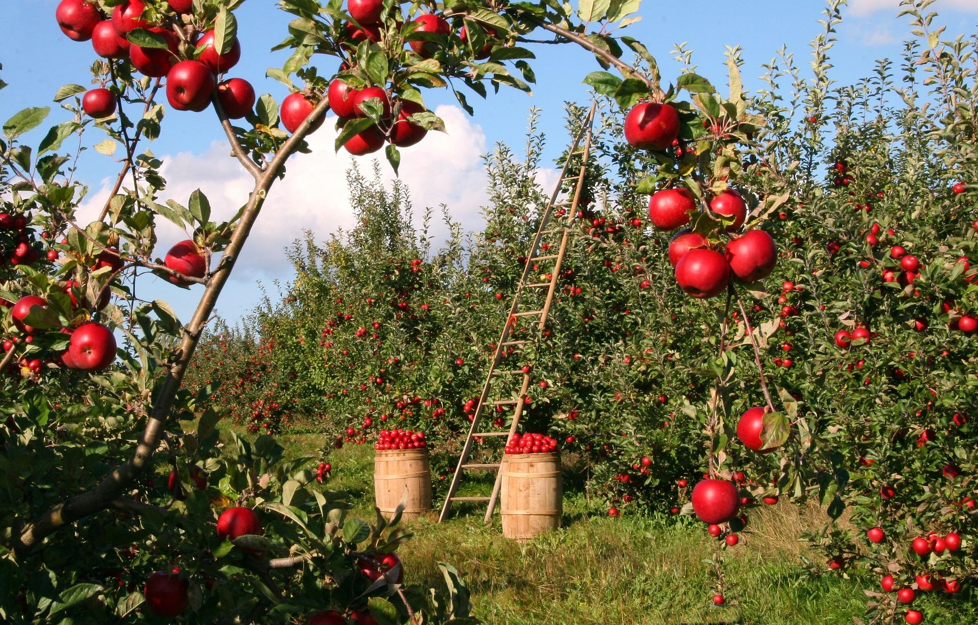 apples-1873078_1920.jpg