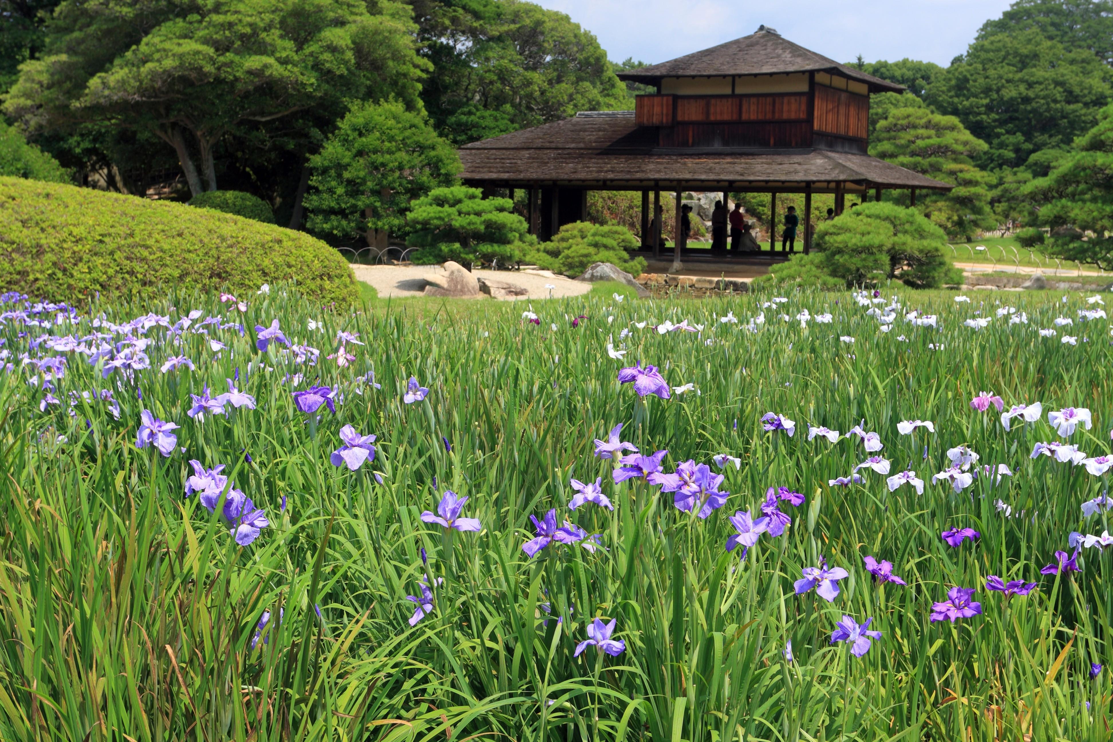 Irises in the japanes garden