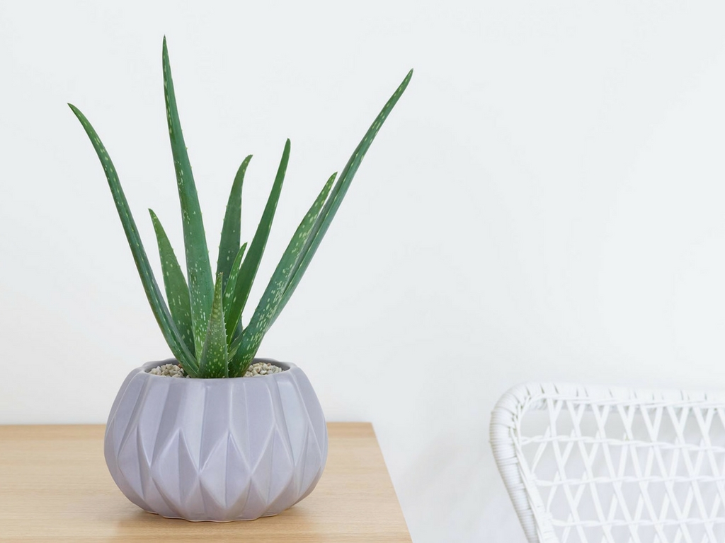 aloe-vera-succulent-plant.jpg